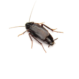 scarafaggio